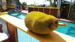 Jack Fruit Big Island Hawaii
