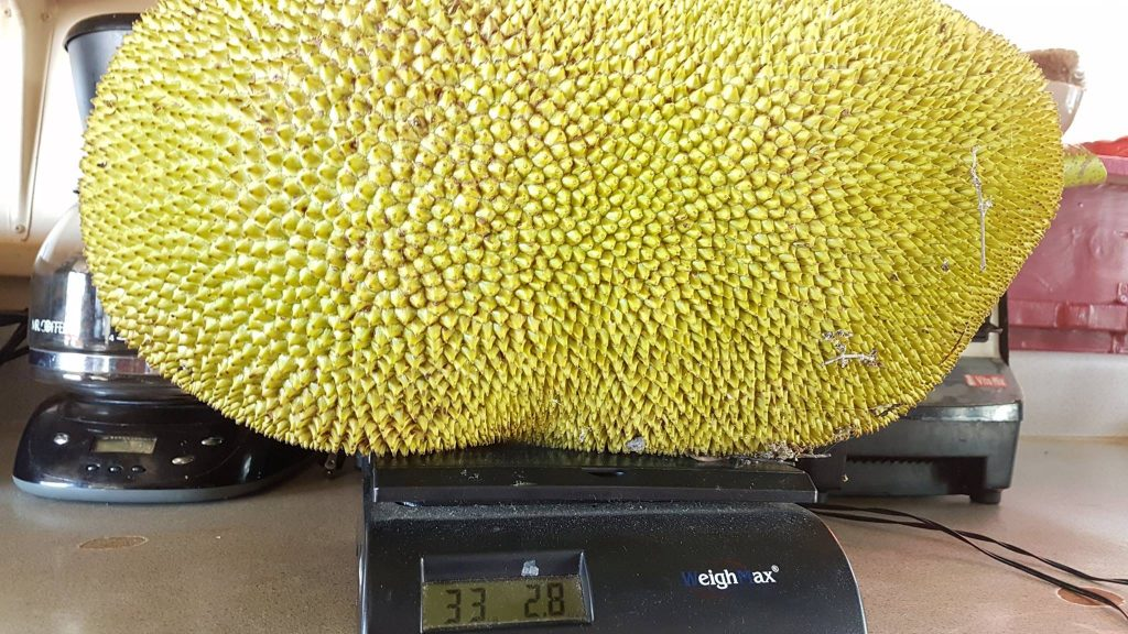 Weighing the Jack Fruit in at 33 Pounds