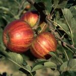Cherry Cox Apple