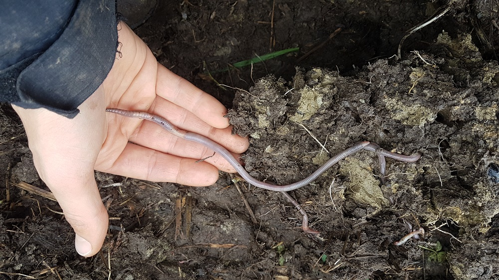 Giant worms shows healthy soil biology and high organic matter