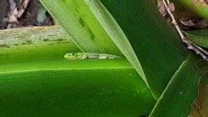 Gold Dust Taro on the Gecko
