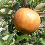 Golden Nugget Apple
