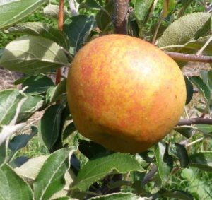 Golden Nugget Apple