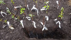 Mycorrhizae on the roots of apple trees