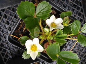 Woodland Strawberry from Saanich Native Plants