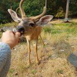 Feeding Baby Deer Carrots