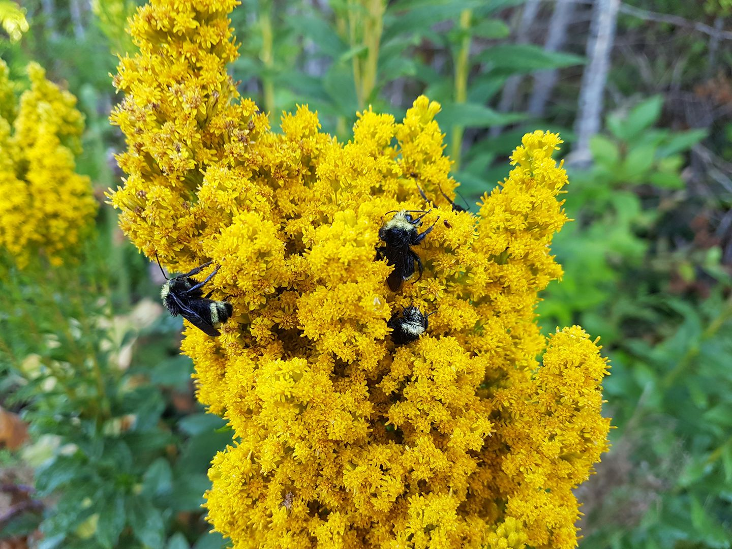 Bees on The Goldenrods